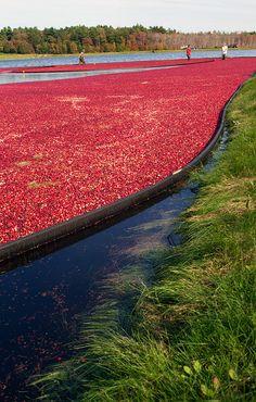 Cranberry bog/ Bandon Bucket list to wade in cranberry bog