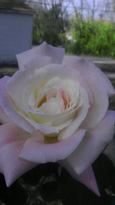 Summer 2012 white rose from my garden