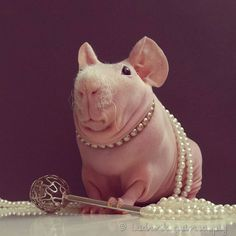 A Confident Hairless Guinea Pig Shows Off His Unusual Beauty in a Variety of Adorable Poses