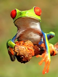 Disappointed frog by William Cen Baby Animals, Cute Animals, Red Eyed Tree Frog, Cute Frogs, Frog And Toad, Dog Agility, Reptiles And Amphibians, African Elephant, Fauna