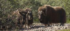 Greenland and Iceland: A UNESCO World Heritage Tour (Escorted) - Scandinavian American Tours Musk Ox, Paradise Valley, Humpback Whale, Polar Bear, Mammals, Sheep, Scandinavian, Wildlife, Animals Planet