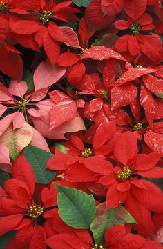 ✯ Poinsettias-I miss getting my birthday poinsettias from you every 8th of December.I guess you know that my Danny Lee or your grandson Carl keep that tradition alive for you.