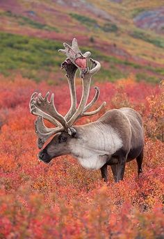 A caribou whose antlers are just starting to shed.