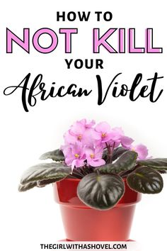 Do you have an african violet plant?! Check out these great tips on how to properly care for your plant! Keep it healthy and blooming for years to come! #africanviolets #happyplants African Violet Plant Care | African Violet Plant Care Tips | Saintpaulia Plant Care | Violet Plant, Saintpaulia, Plant Guide, Peat Moss, Potting Soil, Plant Care, Houseplants, How To Stay Healthy, Indoor Plants