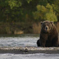 Bear Attack, Camping Supplies, Diy Camping, Brown Bear, Land Scape, Glamping, Alaska, Camping Products, Country