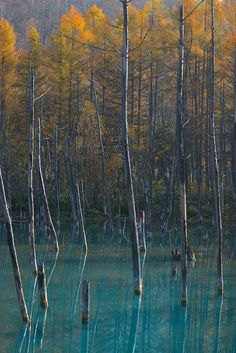 The Blue Pond in Late Autumn, Hokkaido, Japan: Kent Shiraishi Photography Tree Saw, Japan Travel, Japan Trip, Picture Tree, Sea Of Japan, Japanese Landscape, Magic Forest, Island Nations, Water Reflections