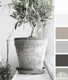 olive tree in concrete pot, neutral color palette, color combinations, color schemes, color ideas, color inspiration, colour palettes, colour eclipse, sage green, olive green, olive gray, gray-green, green-gray, army green, charcoal black, industrial gray, gray-brown, pale gray, cool white, sherwin williams acier