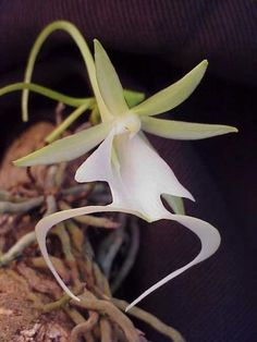Ghost Orchid (Epipogium aphyllum) is an endangered orchid found in the swampy…
