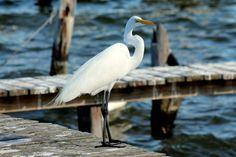 Great White Heron, Indian River, Sebastian FL