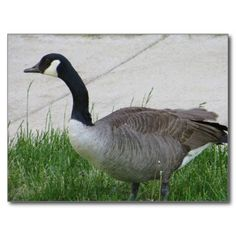 Goose Side View.  Photo by Frederick Meekins