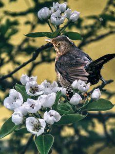 'Blackbird - Spring is here' von Chris Berger bei artflakes.com als Poster oder Kunstdruck $7.01