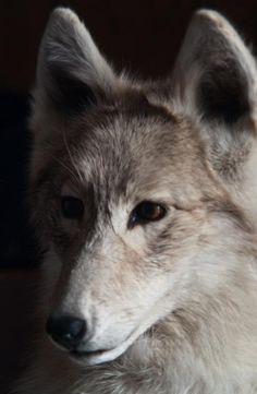 Snow Coyote - by Douglas Barnett [fineartamerica]