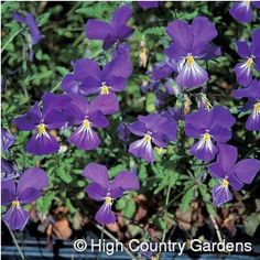 """6"""" x 12"""" wide (cutting/seed propagated) *2003 Plant Select® Winner. """"A perennial pansy? Say it's true!"""" _Viola corsica_ is a much sought after, but difficult to find, perennial that will not only live year to year in your garden but will bloom most of the time too. The blue-purple flowers are whiskered with white and held well above the foliage on sturdy stems. Corsican Pansy appreciates compost enriched garden soils and regular watering. Zones 4-9. 3"""" deep Standard pot."""