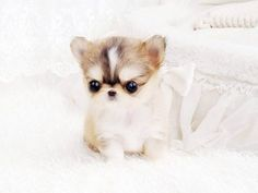 Micro Teacup Chihuahua Archives - Schicke Taschenwelpen - Dogs I want - Chihuahua Puppies For Sale, Cute Puppies, Cute Dogs, Baby Chihuahua, Tiny Puppies, Teacup Dog Breeds, Puppy Breeds, Chihuahua Breeds, Baby Animals