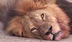 Zimbabwe Symbol of National Pride, 'Cecil' the Lion, Beheaded & Skinned by American Safari Hunter