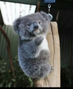 Fluffy koala baby