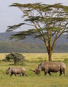 Rhinos on Africa Kenya grasslands