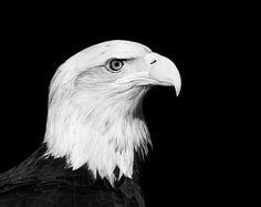 Bald Eagle Photo Cerena Black and White Bird by StephsShoes Funny Birds, Cute Birds, Animal Photography, Portrait Photography, White Photography, Funny Bird Pictures, Bird Tattoo Sleeves, Black And White Birds, Bird Sketch