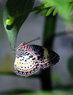 Cethosia cyane, Photographer: George Dvorsky, http://eol.org/data_objects/5827099