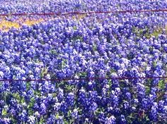 Texas Blue Bonnets......a beautiful sight AND smell!