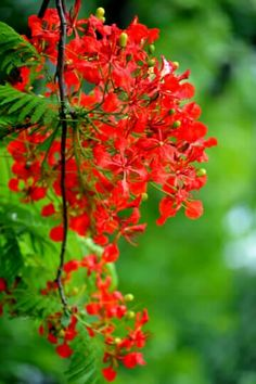 Flamboyant tree also called Gulmohar, Flame of the Forest , Royal Pointciana Forest Flowers, Flowers Nature, Exotic Flowers, Fall Flowers, Tropical Flowers, Amazing Flowers, Red Flowers, Beautiful Flowers, Delonix Regia