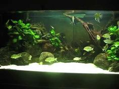 150-gallon Angel and Geophagus - YouTube
