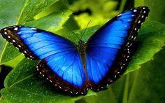Borboleta azul Mais