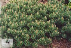 Pinus mugo 'Humpy' - сосна горная 'Хампи' Двухигольная порода горной сосны, кустарниковая форма, с годовым приростом ок. 4 см в год. Побеги прилегают к земле, хвоя короткая, густая, темно-зелёная. Требования к условиям выращивания невысокие. Используется для пейзажных композиций в альпинариях и вересковых садах.