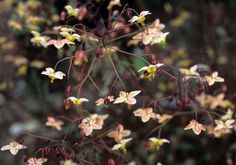 Elisabeth C. Miller Botanical Garden: Plant Collections - Epimediums