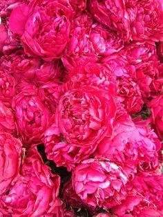 Bright pink peony flowers!