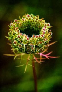 ~~Queen Annes Lace by Joshua Greiner~~ From my board Amazing Flora Unusual Flowers, Unusual Plants, My Flower, Wild Flowers, Beautiful Flowers, Queen Anne Lace, Deco Floral, Seed Pods, Mother Nature