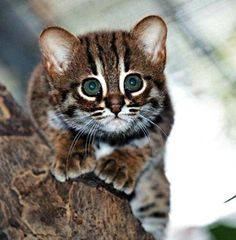 rusty spotted cat kitten. World's smallest wild cat. Berlin Zoo