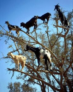 Tree climbing goats of Morocco...what.......haha..what??  Check out the video, they love the fruit of the Argan Tree....thats hilarious