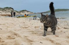 """In cima alla speciale classifica regionale dei """"Luoghi del cuore"""" stilata ogni anno dal Fai, il Fondo per l'ambiente italiano. La colonia felina di """"Su Pallosu"""" (Or) si aggiudica il lusinghiero primato per la Sardegna, confermando l'interesse e la simpatia per i gatti """"marini"""" che ormai attirano un vero e proprio flusso di turismo animalista da tutta Italia. I gatti della colonia sono tenuti costantemente sotto controllo veterinario da parte di un'equipe di volontari e amici della colonia."""