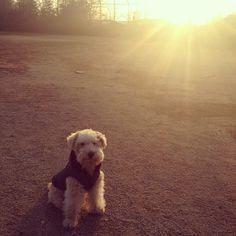 Lakeland Terrier :)