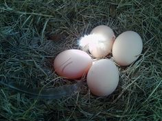 Here's what can make a chicken egg – Angelina