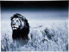 Obraz Lion King Standing I — Obrazy Kare Design — sfmeble.pl