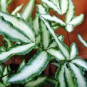 Victorian Brake Fern lives in my garden.  Has several common names. Pteris cretica albpolineata ishttp://tellys.com/departments/ferns
