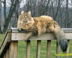 Maine Coon Cat! my heart stopped when i saw this picture could sooo be my Dopey Fatz....oh how i miss my baby boy http://www.mainecoonguide.com/maine-coon-personality-traits/
