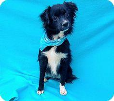 Burbank, CA - Pomeranian Mix. Meet Disco, a puppy for adoption. http://www.adoptapet.com/pet/14327213-burbank-california-pomeranian-mix