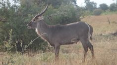 a Waterbuck standing for a foto