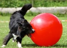 Treibbal is a new dog sport that combines the fun of soccer for dogs. Using exercise balls, dogs score goals to win at herding.