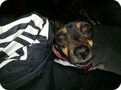 Verona, NJ - Rat Terrier/Terrier (Unknown Type, Small) Mix. Meet Annabelle, a dog for adoption. http://www.adoptapet.com/pet/17704597-verona-new-jersey-rat-terrier-mix