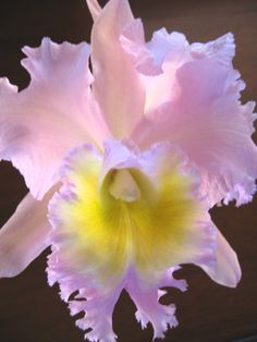 Beautiful Cattleya