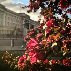 "61 Likes, 2 Comments - @alexcamarillo on Instagram: ""Royal tree. 😍🙌🏼✨🌳🇬🇧 #BuckinghamPalace #London #UK #travel #picoftheday"""