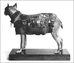 Sergeant Stubby, after 18 months in Europe, returned home with Corporal Conroy. When he attended Georgetown University Law School, Stubby became the unofficial Hoya mascot. Stubby died in 1926. His body is kept by the Smithsonian museum.  He was/is the most decorated war dog ever.  How's that for a dog that is banned in many cities around the USA!!!