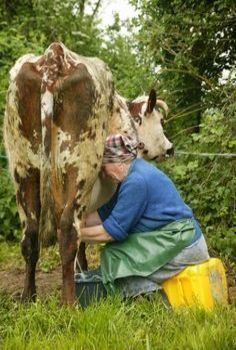 Woman milking cow from angle Country Art, Country Life, Country Girls, Country Living, Country Roads, Farm Animals, Animals And Pets, Farm Art, Cow Art