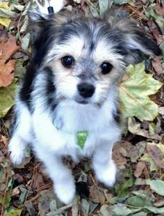 Izzie the Chihuahua Mix -- Puppy Breed: Chihuahua / Lhasa Apso / Jack Russell Terrier Chihuahua Mix Puppies, Chihuahua Love, Cute Puppies, Cute Dogs, Dogs And Puppies, Teacup Chihuahua, Lhasa Apso, West Highland Terrier, Schnauzers