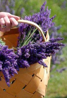 Purple Color Splash / Pretty basket of lavender Lavender Cottage, Lavender Garden, Lavender Fields, Lavender Color, Lavender Flowers, Color Splash, Color Pop, Colour, Splash Photography