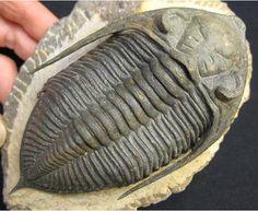 $化石ショップ「ふぉっしる」店長の日常-三葉虫Zlichovaspis